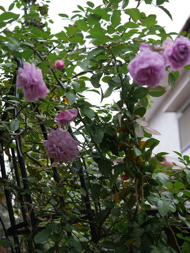 レイニーブルー(Rainy Blue)の秋花がたくさん咲いた。ツルバラ。2020年-019.jpg