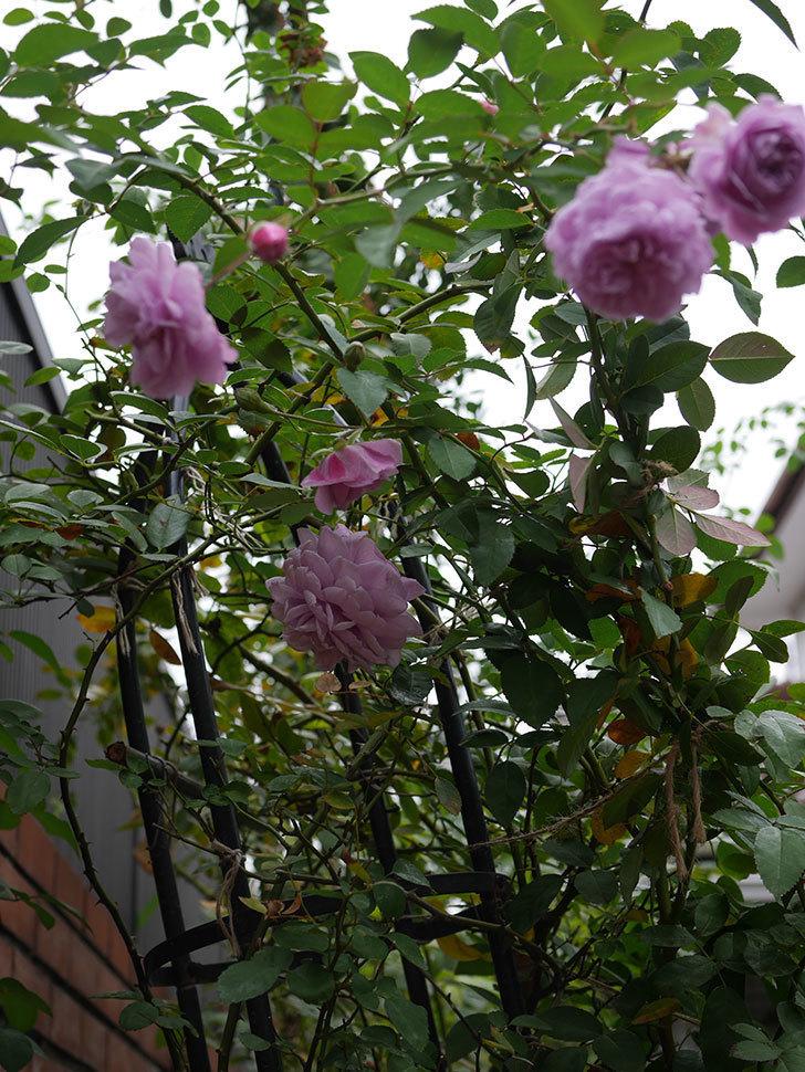 レイニーブルー(Rainy Blue)の秋花がたくさん咲いた。ツルバラ。2020年-020.jpg