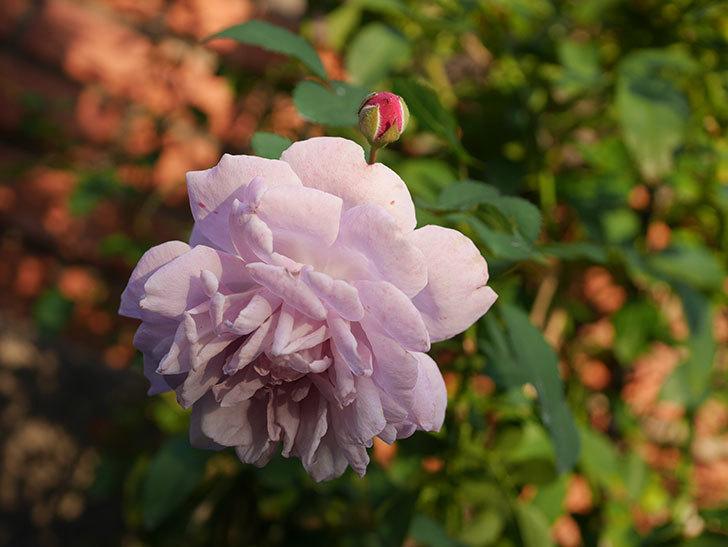 レイニーブルー(Rainy Blue)の秋花がたくさん咲いた。ツルバラ。2020年-021.jpg