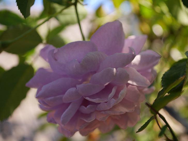 レイニーブルー(Rainy Blue)の秋花がたくさん咲いた。ツルバラ。2020年-023.jpg