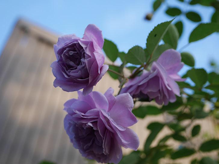 レイニーブルー(Rainy Blue)の秋花がたくさん咲いた。ツルバラ。2020年-024.jpg