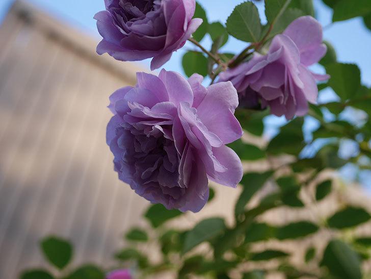 レイニーブルー(Rainy Blue)の秋花がたくさん咲いた。ツルバラ。2020年-025.jpg