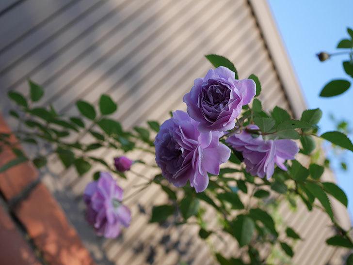レイニーブルー(Rainy Blue)の秋花がたくさん咲いた。ツルバラ。2020年-026.jpg
