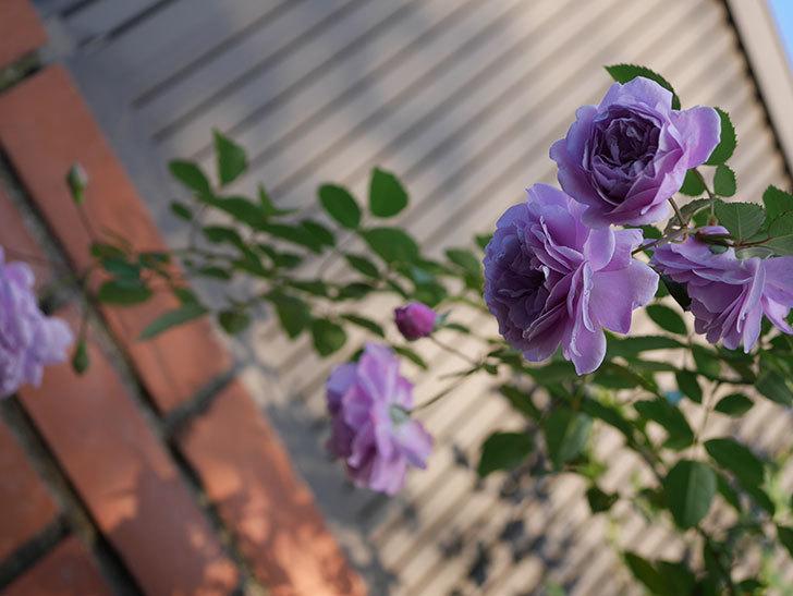 レイニーブルー(Rainy Blue)の秋花がたくさん咲いた。ツルバラ。2020年-027.jpg