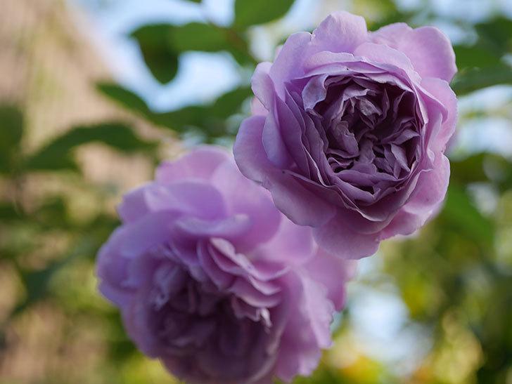 レイニーブルー(Rainy Blue)の秋花がたくさん咲いた。ツルバラ。2020年-028.jpg