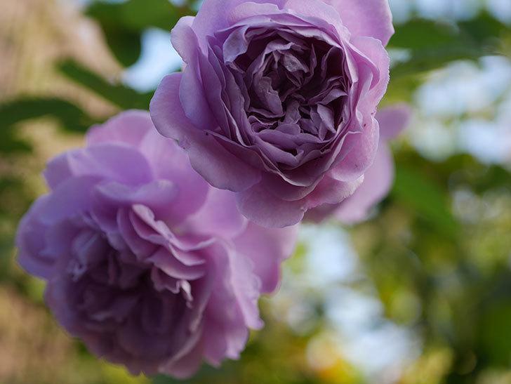 レイニーブルー(Rainy Blue)の秋花がたくさん咲いた。ツルバラ。2020年-029.jpg