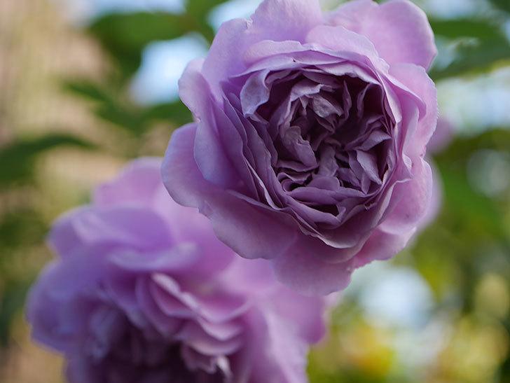 レイニーブルー(Rainy Blue)の秋花がたくさん咲いた。ツルバラ。2020年-030.jpg