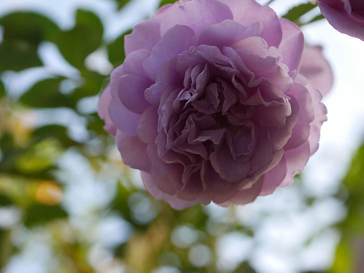 レイニーブルー(Rainy Blue)の秋花がたくさん咲いた。ツルバラ。2020年-031.jpg