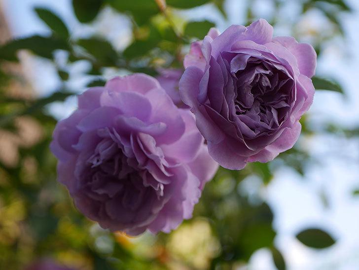 レイニーブルー(Rainy Blue)の秋花がたくさん咲いた。ツルバラ。2020年-032.jpg