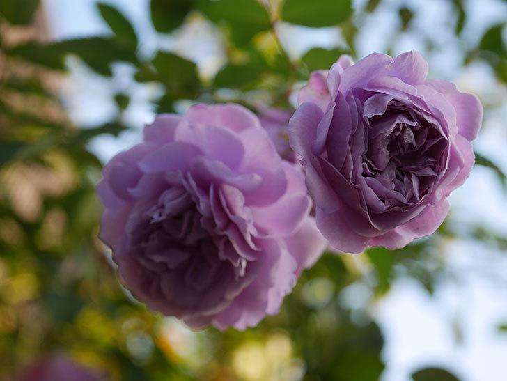 レイニーブルー(Rainy Blue)の秋花がたくさん咲いた。ツルバラ。2020年-033.jpg