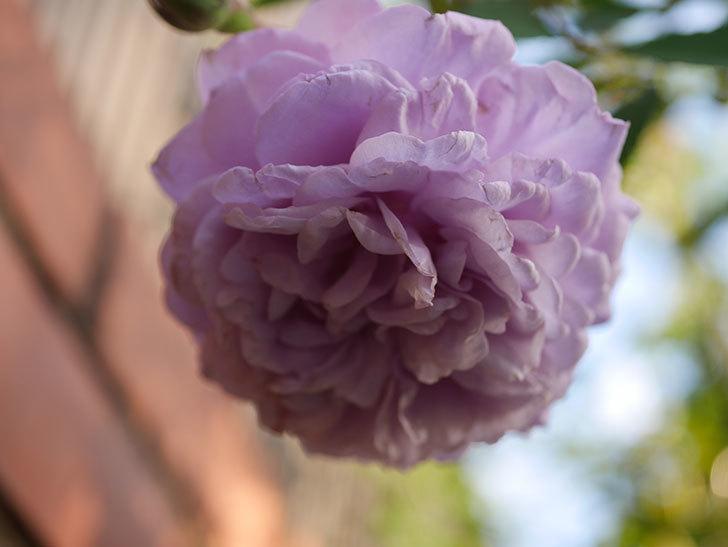 レイニーブルー(Rainy Blue)の秋花がたくさん咲いた。ツルバラ。2020年-034.jpg