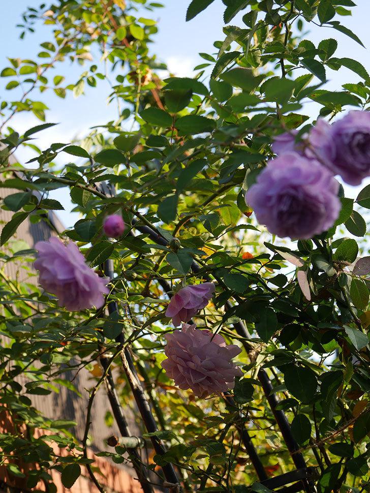レイニーブルー(Rainy Blue)の秋花がたくさん咲いた。ツルバラ。2020年-035.jpg