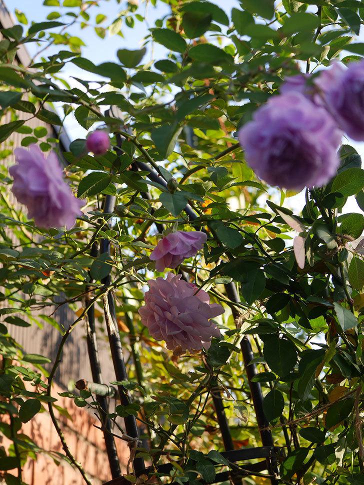 レイニーブルー(Rainy Blue)の秋花がたくさん咲いた。ツルバラ。2020年-036.jpg