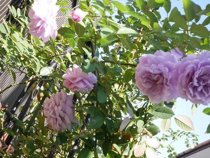 レイニーブルー(Rainy Blue)の秋花がたくさん咲いた。ツルバラ。2020年-040.jpg