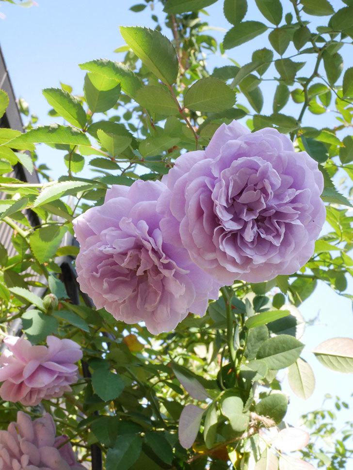 レイニーブルー(Rainy Blue)の秋花がたくさん咲いた。ツルバラ。2020年-043.jpg