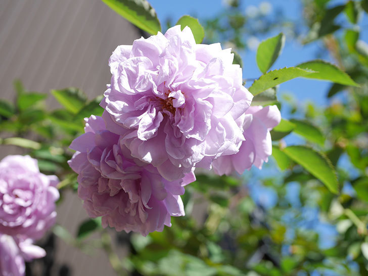 レイニーブルー(Rainy Blue)の秋花がたくさん咲いた。ツルバラ。2020年-044.jpg