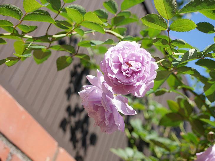 レイニーブルー(Rainy Blue)の秋花がたくさん咲いた。ツルバラ。2020年-045.jpg