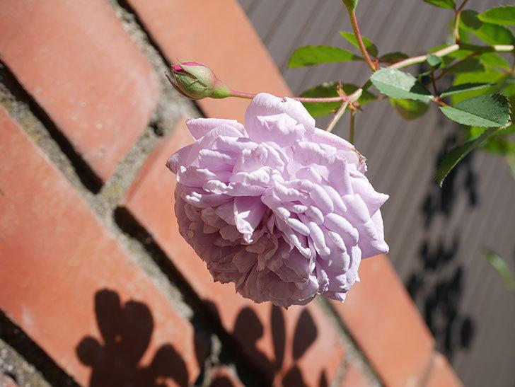 レイニーブルー(Rainy Blue)の秋花がたくさん咲いた。ツルバラ。2020年-046.jpg