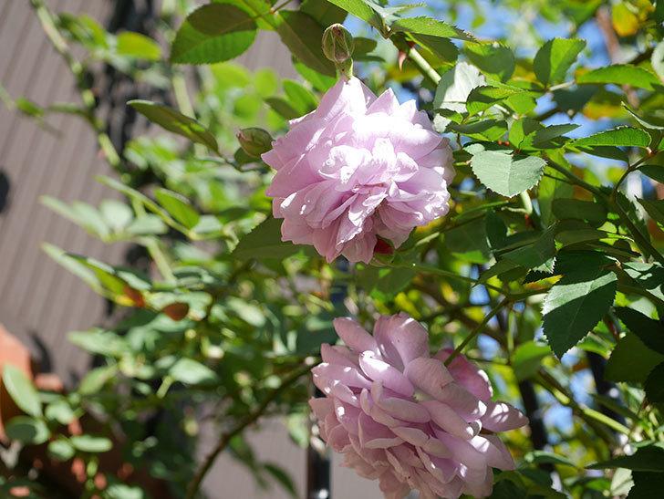 レイニーブルー(Rainy Blue)の秋花がたくさん咲いた。ツルバラ。2020年-047.jpg