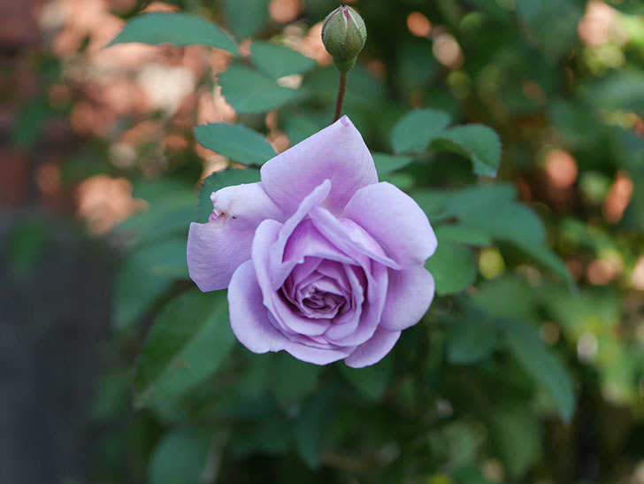 レイニーブルー(Rainy Blue)の秋花がまた咲いた。ツルバラ。2020年-001.jpg