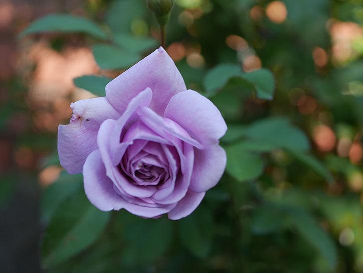 レイニーブルー(Rainy Blue)の秋花がまた咲いた。ツルバラ。2020年-002.jpg