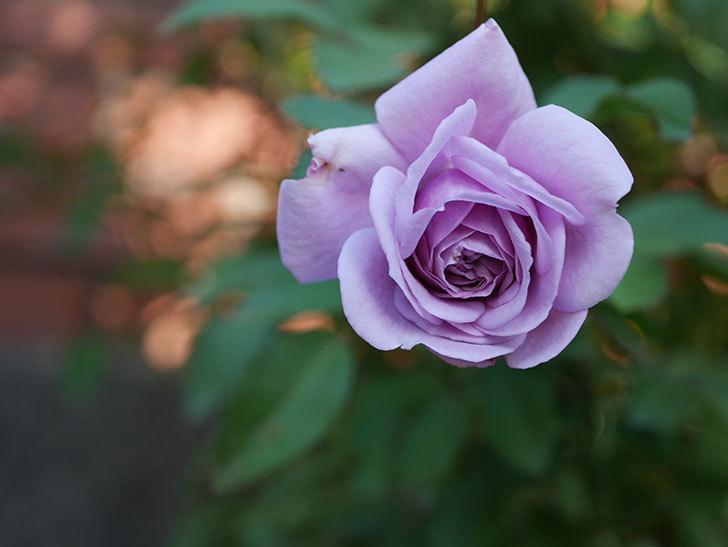レイニーブルー(Rainy Blue)の秋花がまた咲いた。ツルバラ。2020年-003.jpg