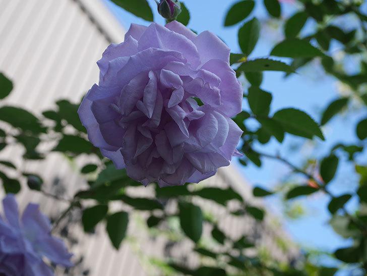 レイニーブルー(Rainy Blue)の秋花がまた咲いた。ツルバラ。2020年-005.jpg