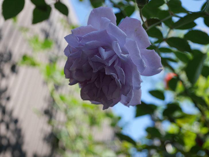 レイニーブルー(Rainy Blue)の秋花がまた咲いた。ツルバラ。2020年-006.jpg