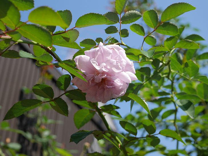 レイニーブルー(Rainy Blue)の秋花が咲いた。ツルバラ。2020年-001.jpg