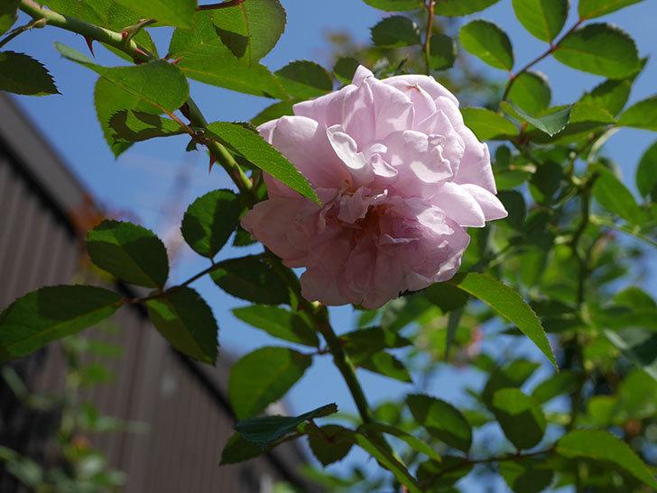 レイニーブルー(Rainy Blue)の秋花が咲いた。ツルバラ。2020年-002.jpg