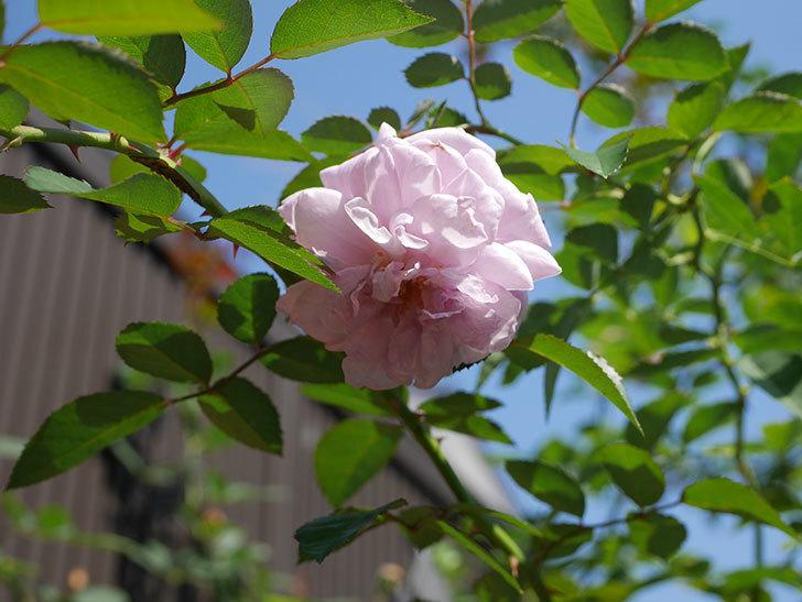 レイニーブルー(Rainy Blue)の秋花が咲いた。ツルバラ。2020年-004.jpg