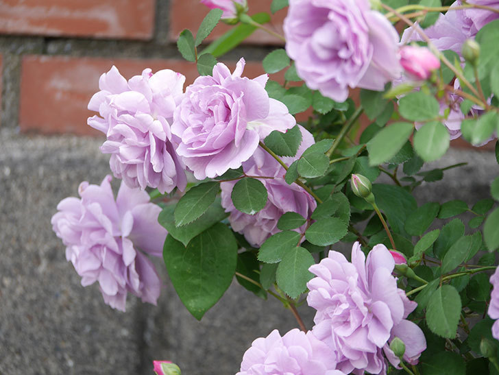 レイニーブルー(Rainy Blue)の花がたくさん咲いた。ツルバラ。2021年-001.jpg