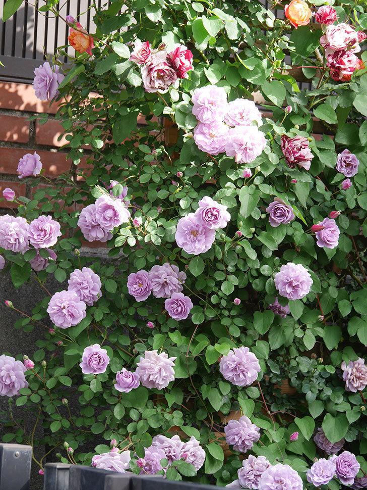 レイニーブルー(Rainy Blue)の花がたくさん咲いた。ツルバラ。2021年-004.jpg