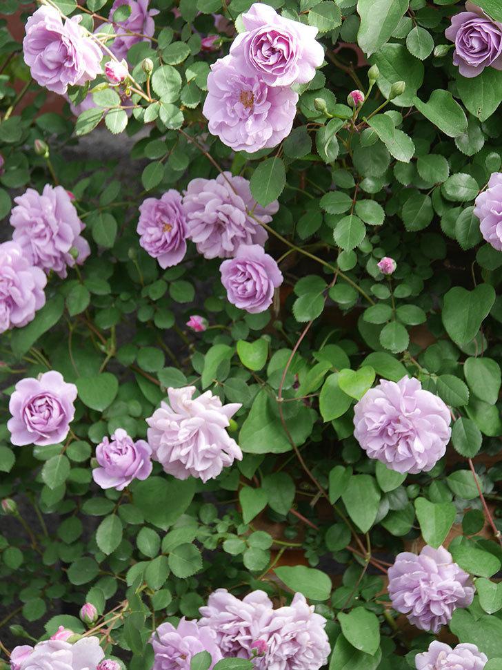 レイニーブルー(Rainy Blue)の花がたくさん咲いた。ツルバラ。2021年-006.jpg