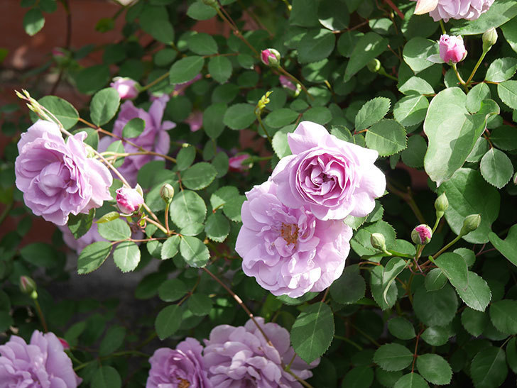 レイニーブルー(Rainy Blue)の花がたくさん咲いた。ツルバラ。2021年-007.jpg
