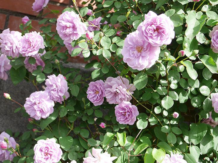 レイニーブルー(Rainy Blue)の花がたくさん咲いた。ツルバラ。2021年-009.jpg