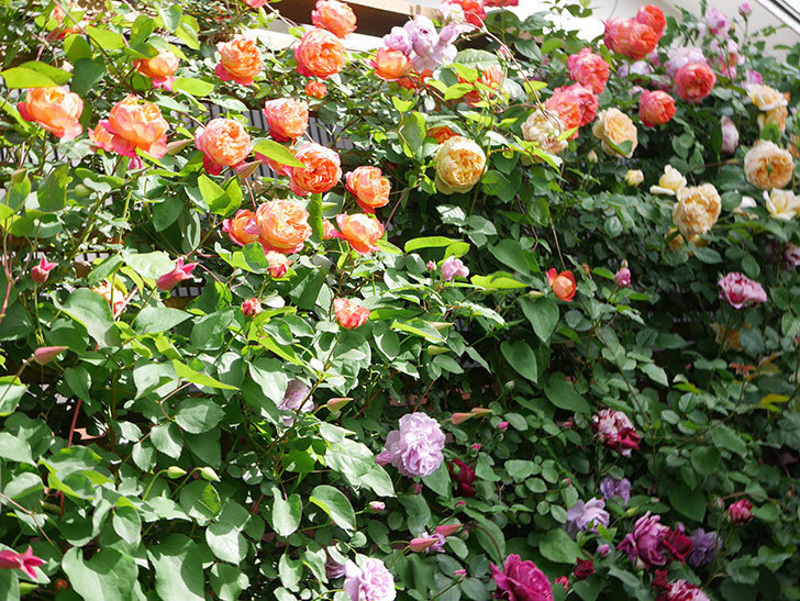 レイニーブルー(Rainy Blue)の花がたくさん咲いた。ツルバラ。2021年-010.jpg