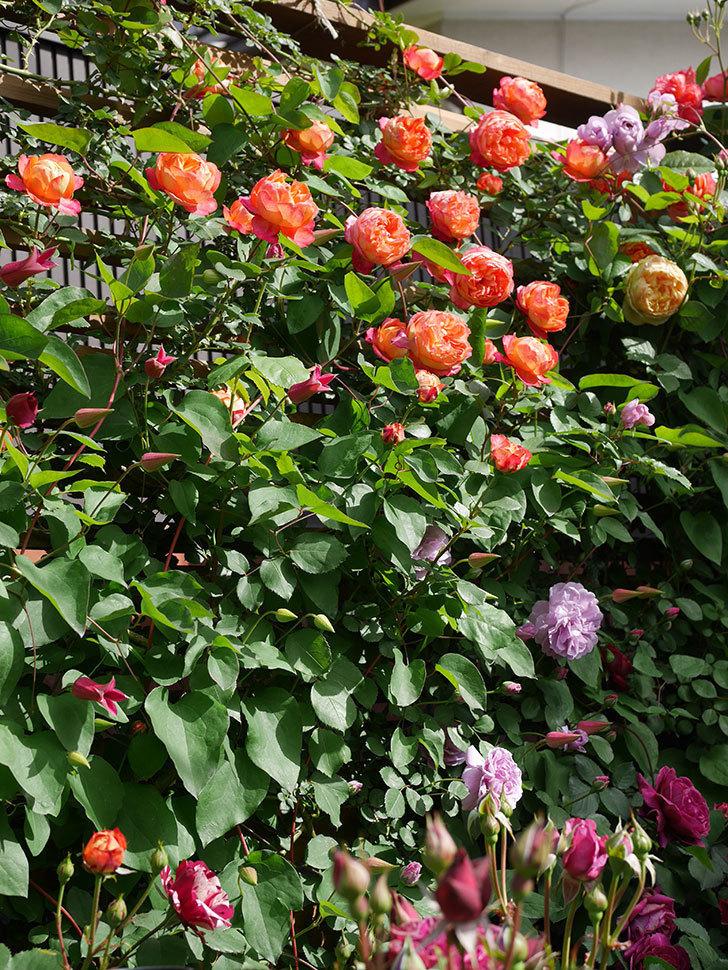 レイニーブルー(Rainy Blue)の花がたくさん咲いた。ツルバラ。2021年-011.jpg