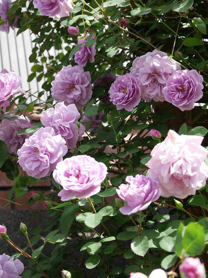 レイニーブルー(Rainy Blue)の花がたくさん咲いた。ツルバラ。2021年-019.jpg