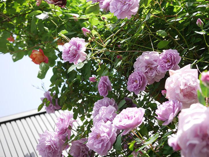 レイニーブルー(Rainy Blue)の花がたくさん咲いた。ツルバラ。2021年-020.jpg