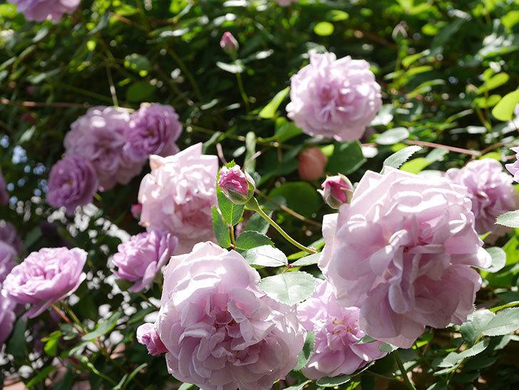 レイニーブルー(Rainy Blue)の花がたくさん咲いた。ツルバラ。2021年-021.jpg