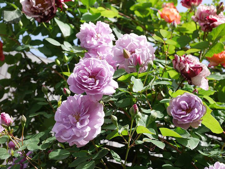 レイニーブルー(Rainy Blue)の花がたくさん咲いた。ツルバラ。2021年-022.jpg