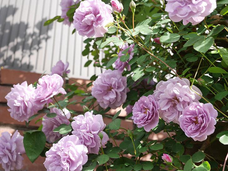 レイニーブルー(Rainy Blue)の花がたくさん咲いた。ツルバラ。2021年-023.jpg