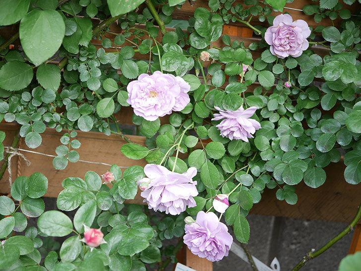レイニーブルー(Rainy Blue)の花がたくさん咲いた。ツルバラ。2021年-024.jpg