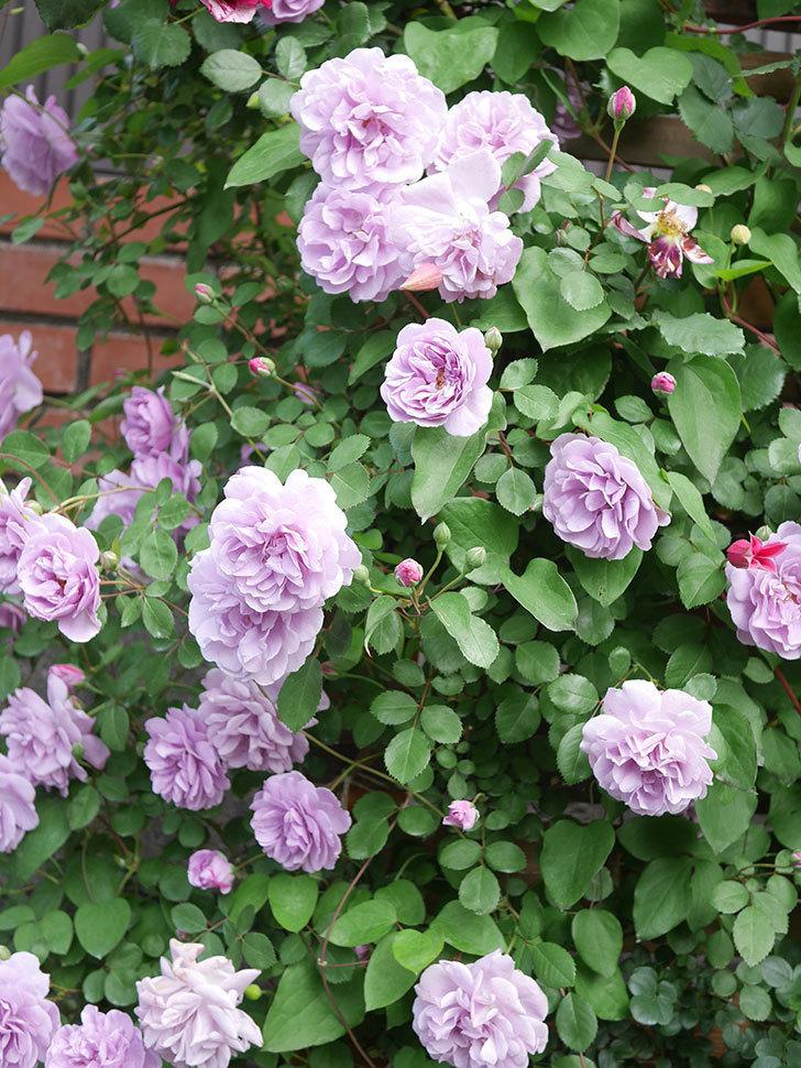 レイニーブルー(Rainy Blue)の花がたくさん咲いた。ツルバラ。2021年-025.jpg