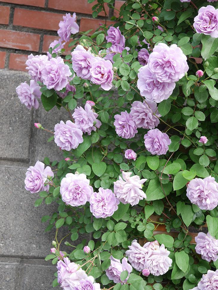 レイニーブルー(Rainy Blue)の花がたくさん咲いた。ツルバラ。2021年-026.jpg