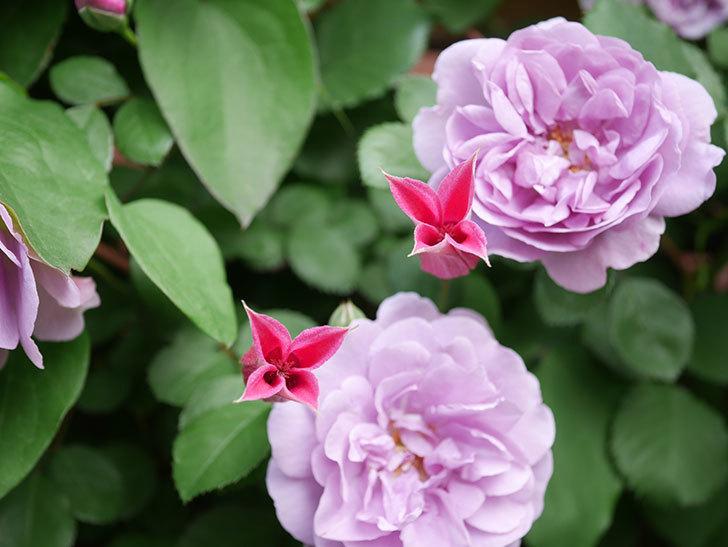 レイニーブルー(Rainy Blue)の花がたくさん咲いた。ツルバラ。2021年-027.jpg