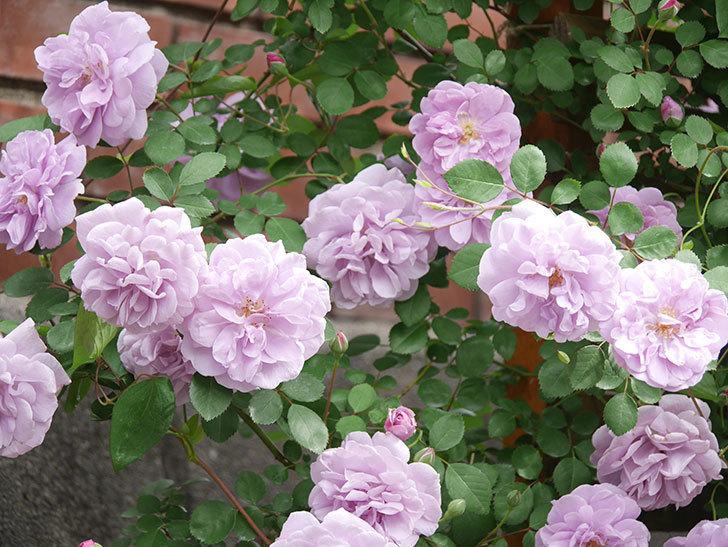 レイニーブルー(Rainy Blue)の花がたくさん咲いた。ツルバラ。2021年-029.jpg