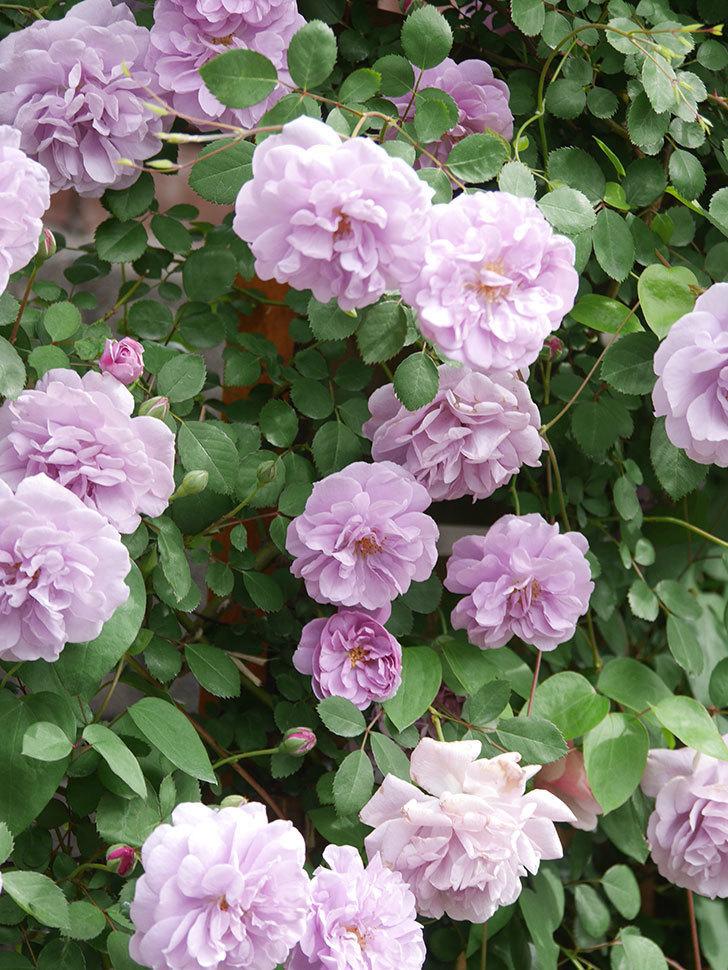レイニーブルー(Rainy Blue)の花がたくさん咲いた。ツルバラ。2021年-030.jpg