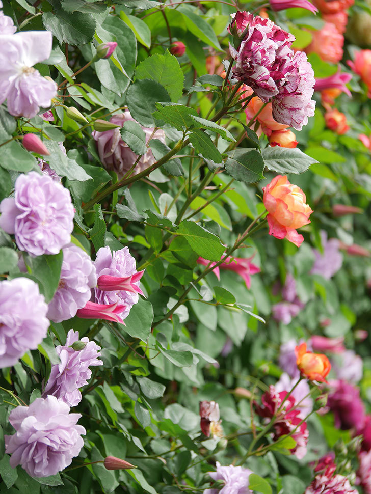 レイニーブルー(Rainy Blue)の花がたくさん咲いた。ツルバラ。2021年-031.jpg